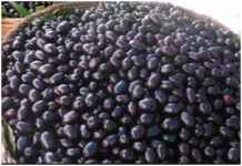 Jamun