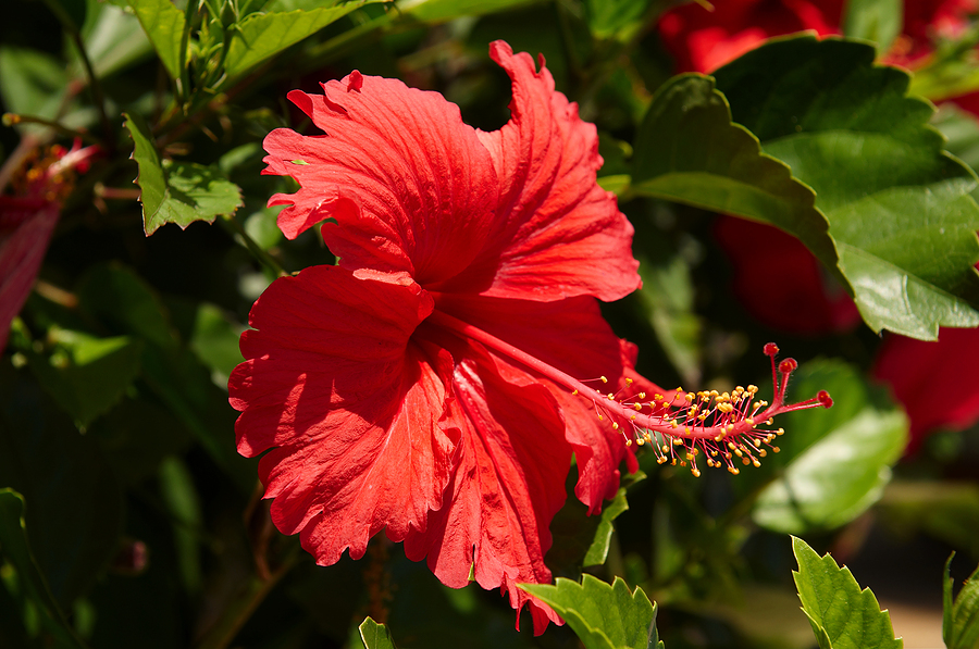 Hibiscus Flower Will Help Cure Diabetes