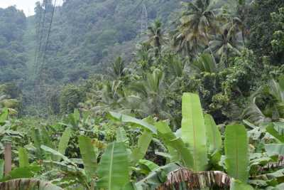 Coconut and Banana tress on the way