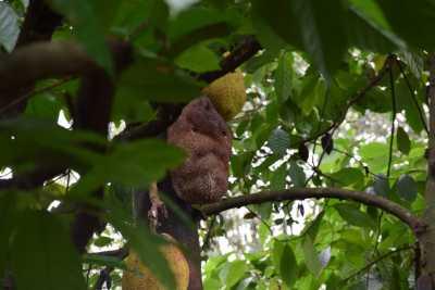 Jackfruit Tree at Spice garden