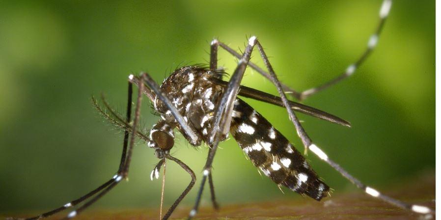 Mosquito /pixabay