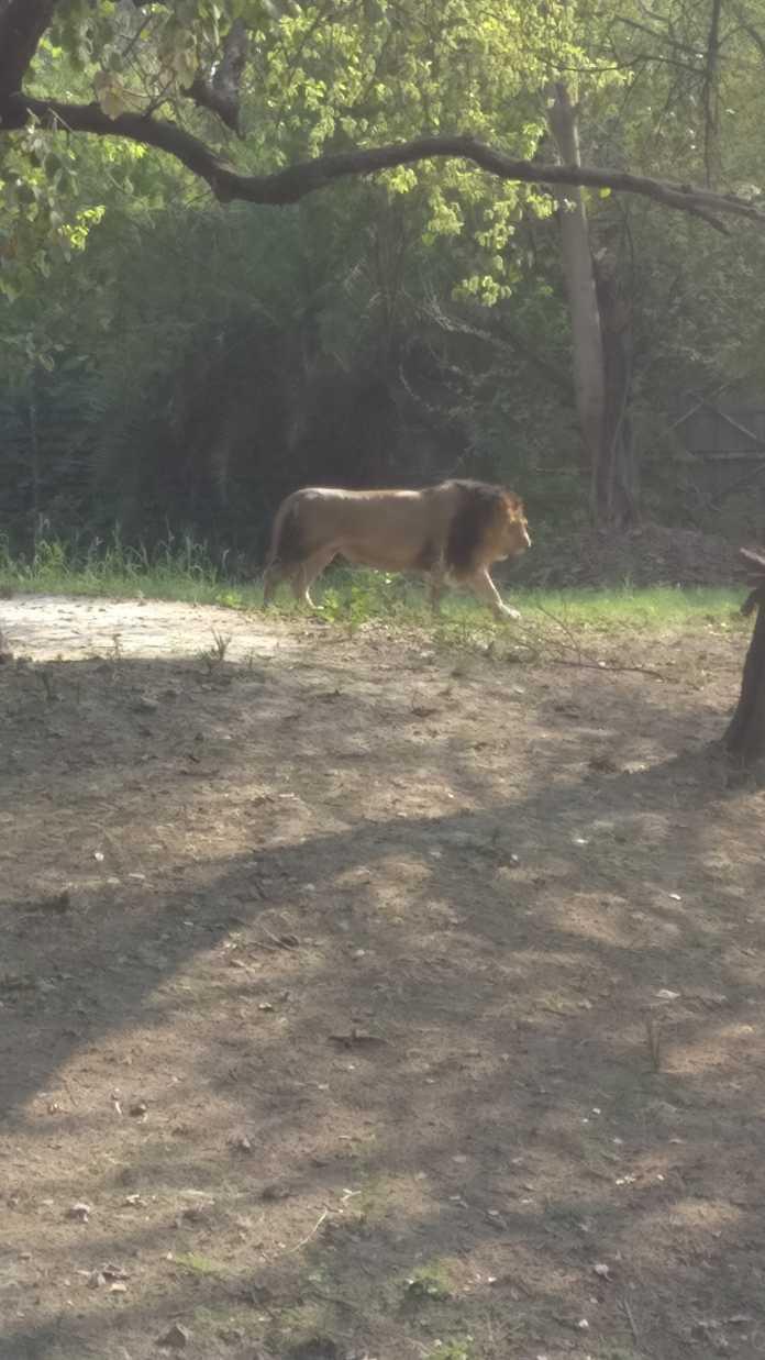 The lions at Delhi Zoo