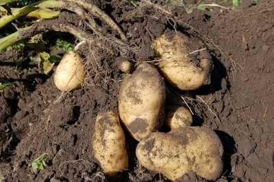 Root Potato
