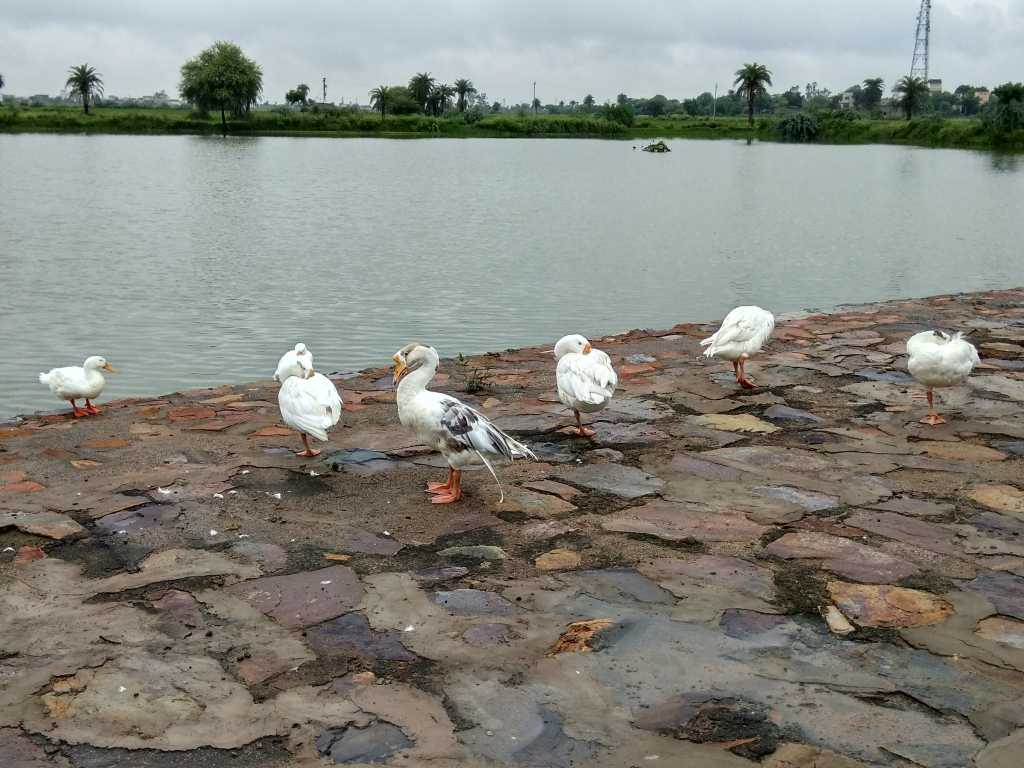 The pond at Westin, Sohna with ducks