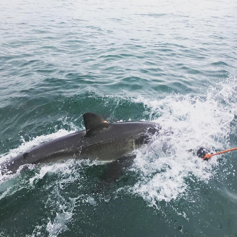 Sharks at Mossel Bay